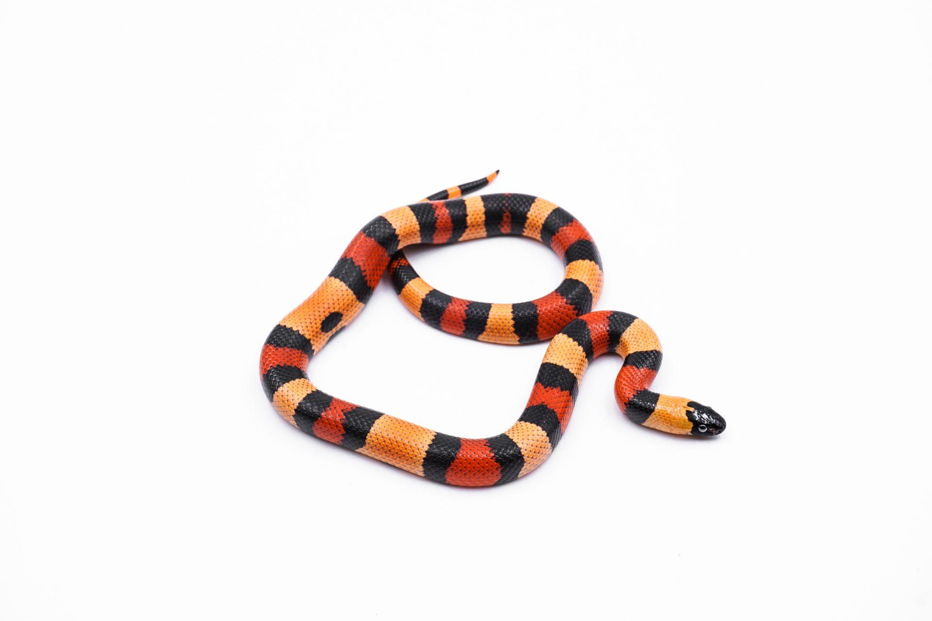 Serpent roi de Campbell