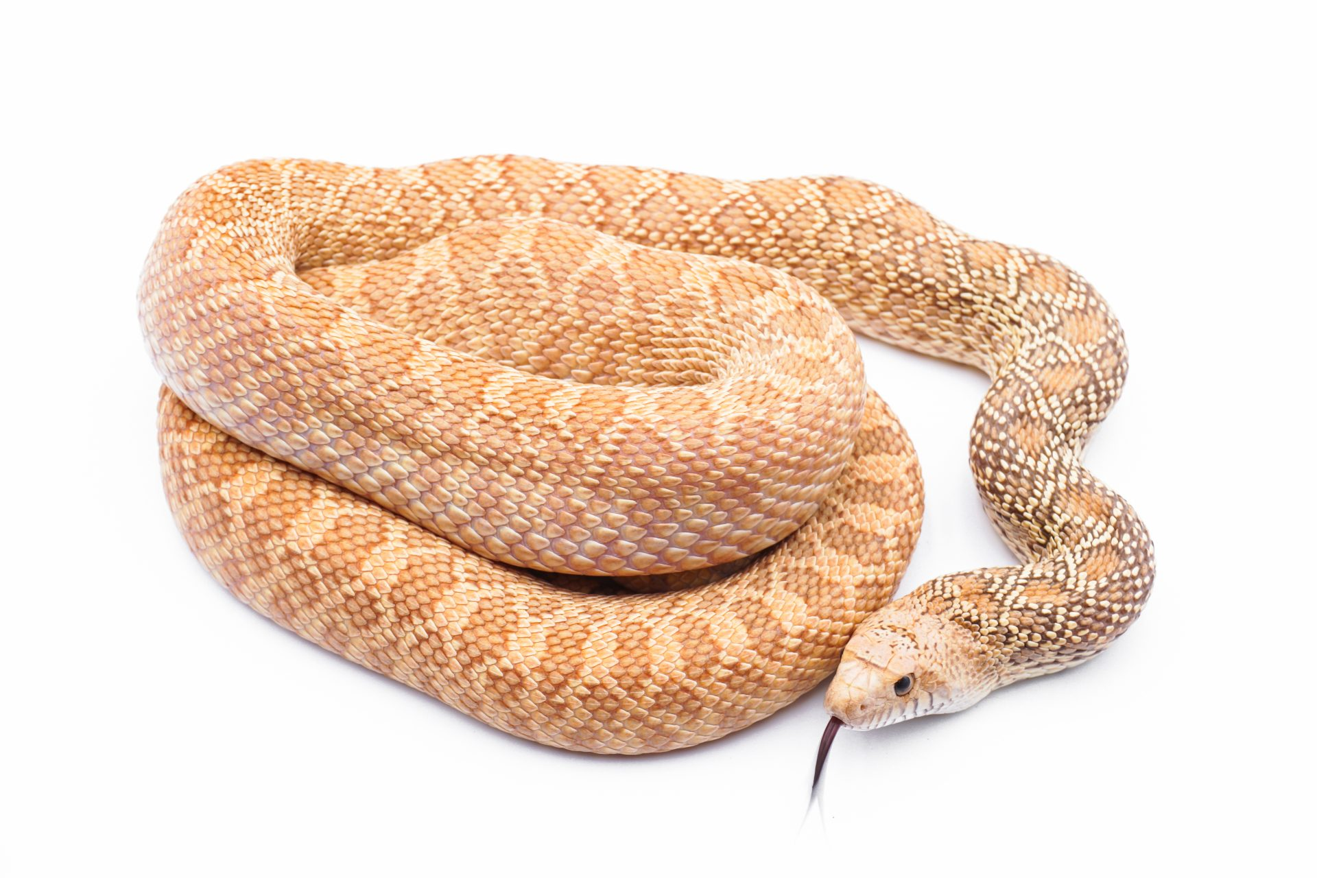 Serpent taureau